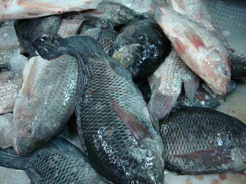 Tilapia ol j ng for Tilapia not real fish